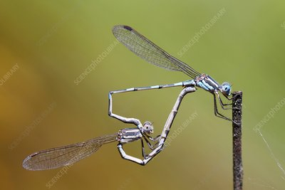 Blue ringtail damselflies mating