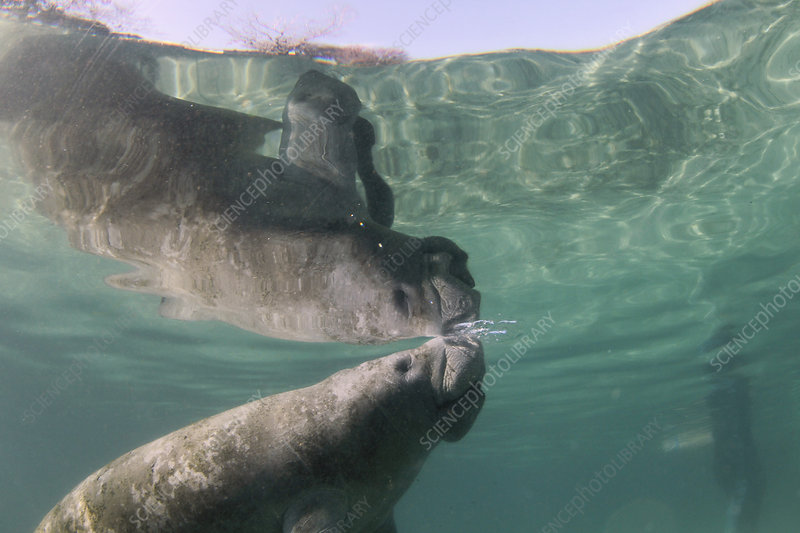 Florida manatee taking air at surface