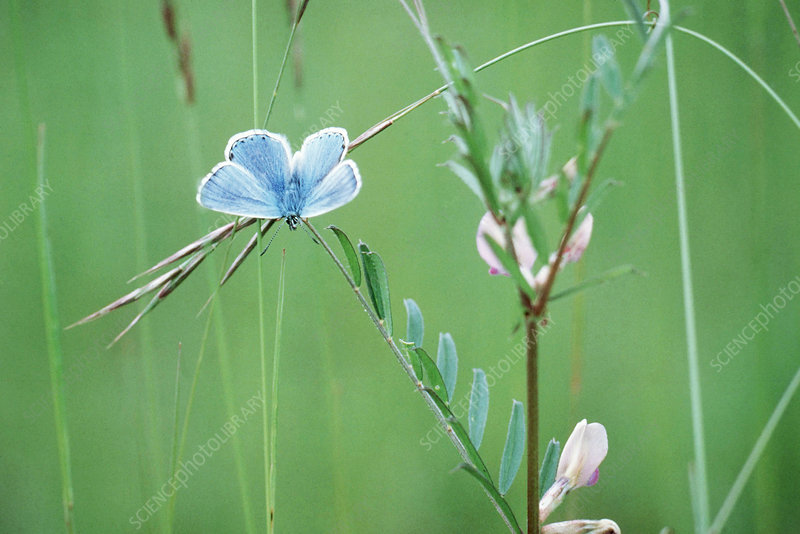 Adonis blue butterfly