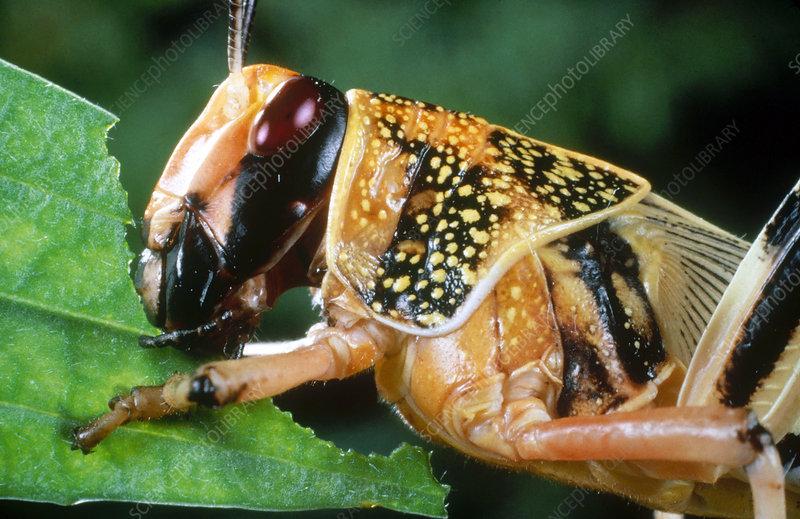 Desert locust nymph