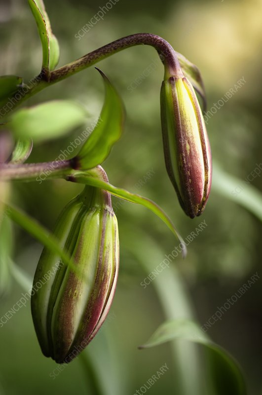 Lily (Lilium sp.) flower buds
