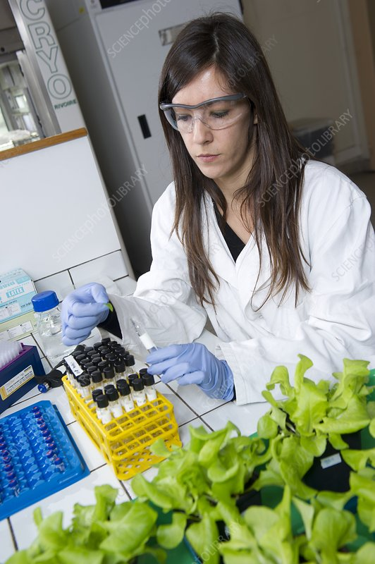 Lettuce pollution research