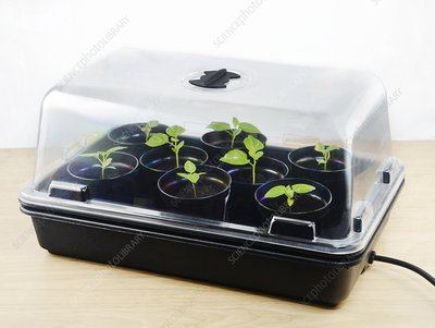 Chilli plant seedling propagation