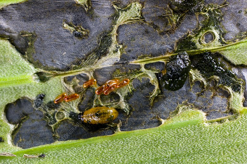 Lily beetle larvae on a lily leaf