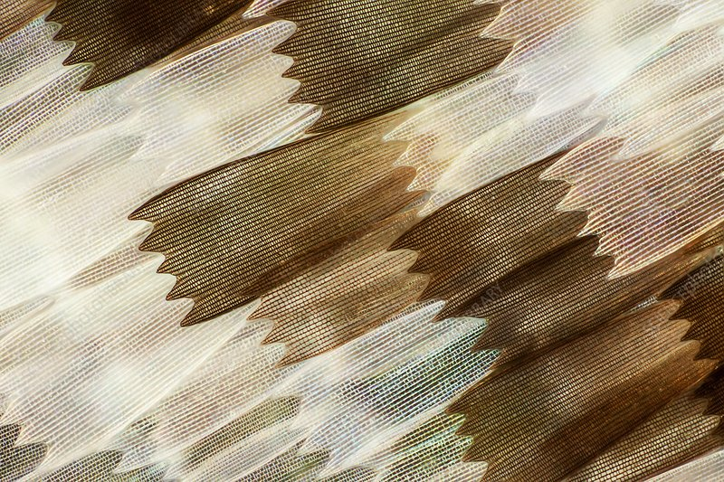 Common mother-of-pearl butterfly wing, LM