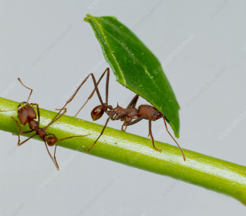 Leaf cutter ant ants