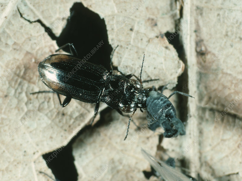 Predatory Ground Beetle and Aphid