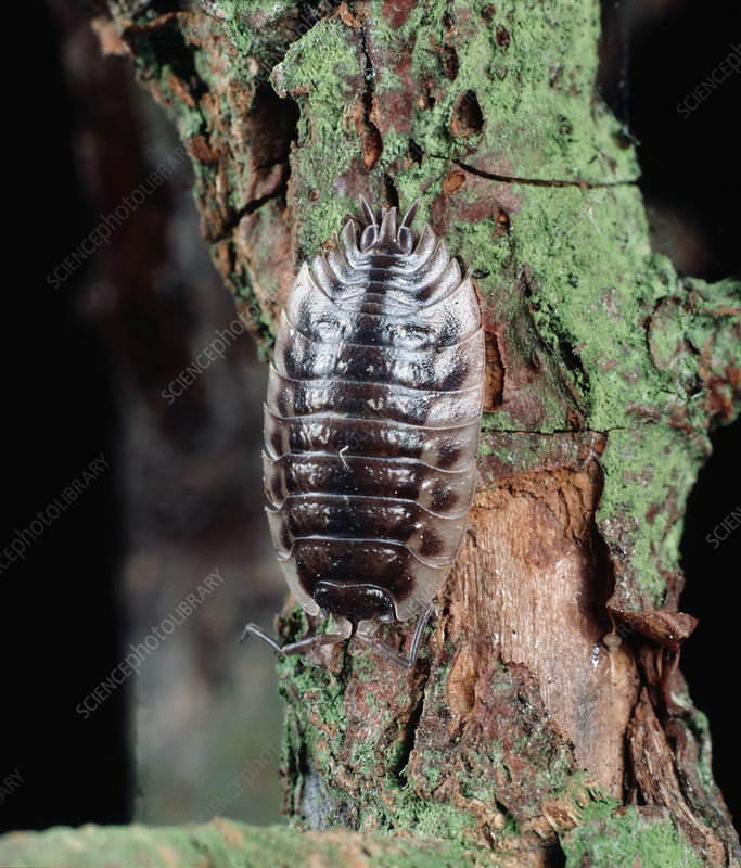Woodlouse or Sow Bug