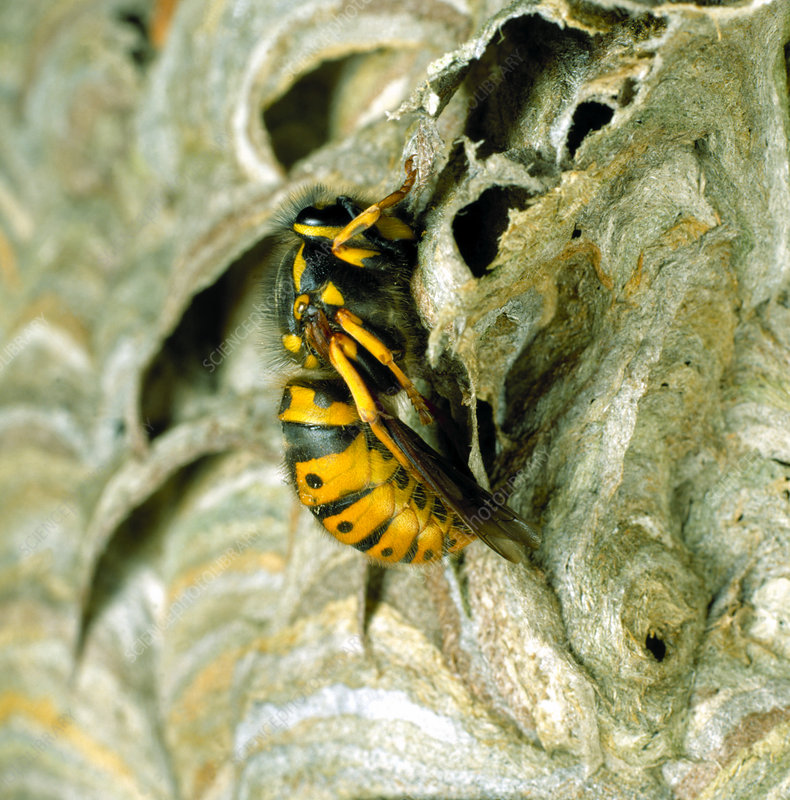 Queen Wasp on Nest
