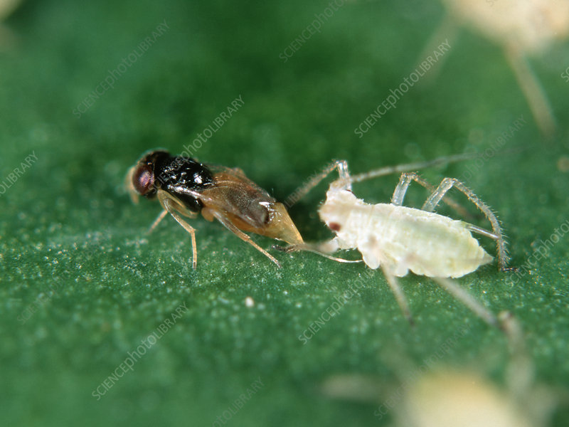 Parasitoid wasp laying eggs in aphid