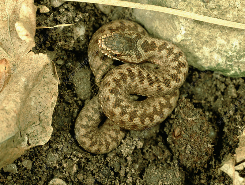 Young adder