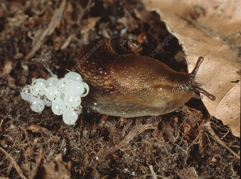 Slug (Arion distinctus) with eggs