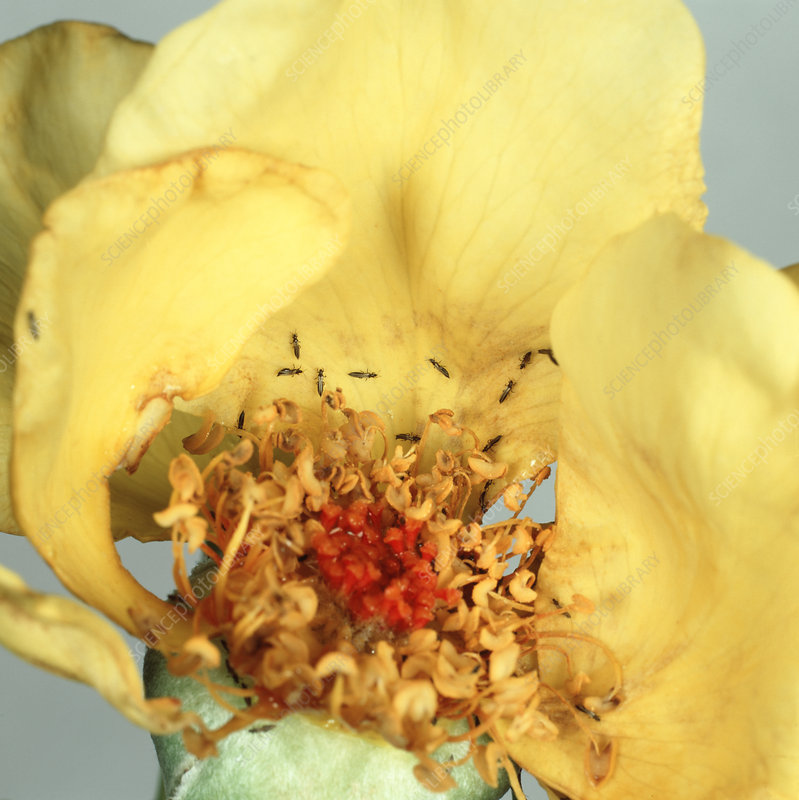 Rose thrips on damaged rose flower