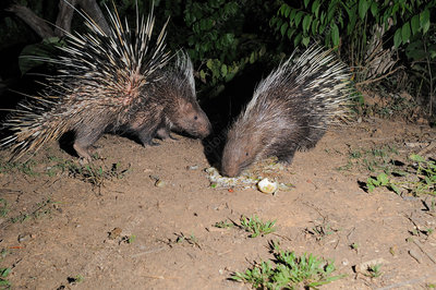 East Asian Porcupines
