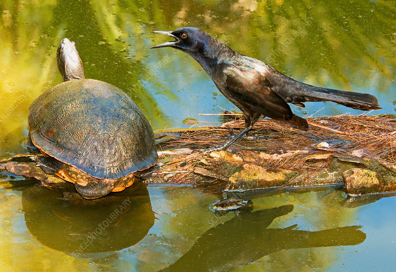 Boat Tailed Grackle Talking To A Turtle