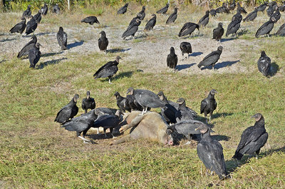Black Vultures eat Hog
