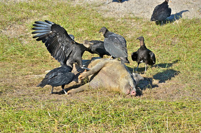 Black Vultures eat Dead Hog