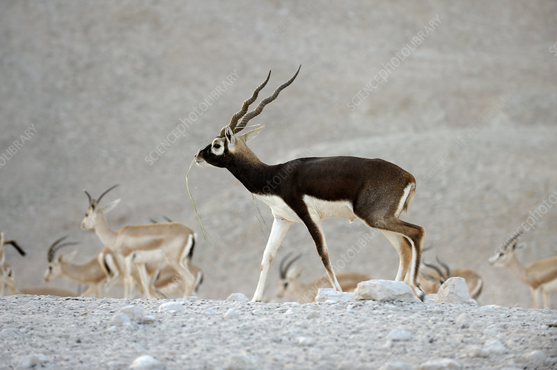 Breeding male blackbuck