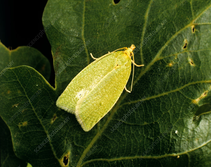 Oak tortrix moth