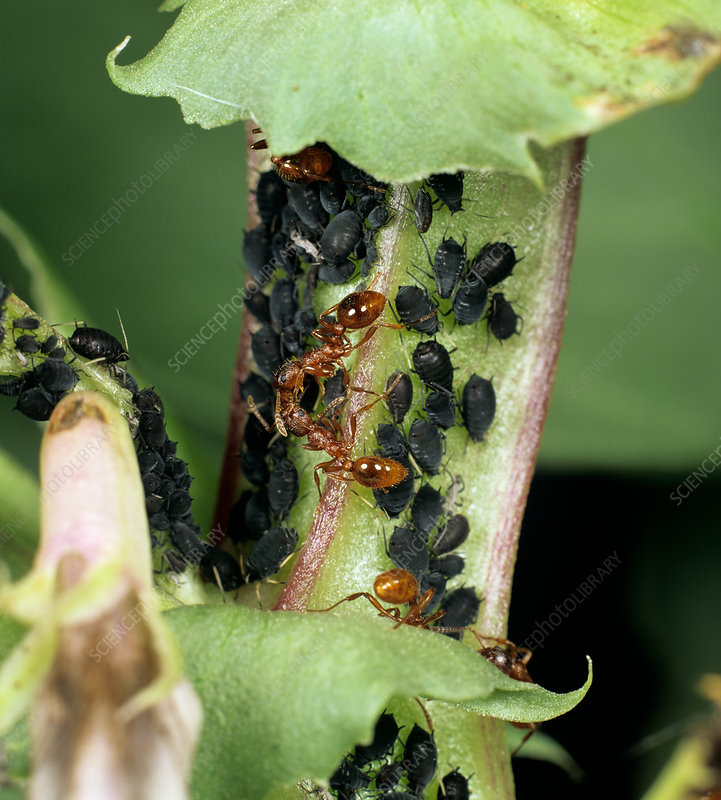 Ants Guarding Aphids