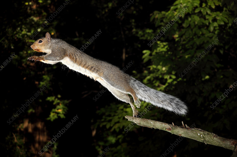 Jumping Gray Squirrel