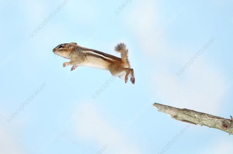 Jumping Chipmunk