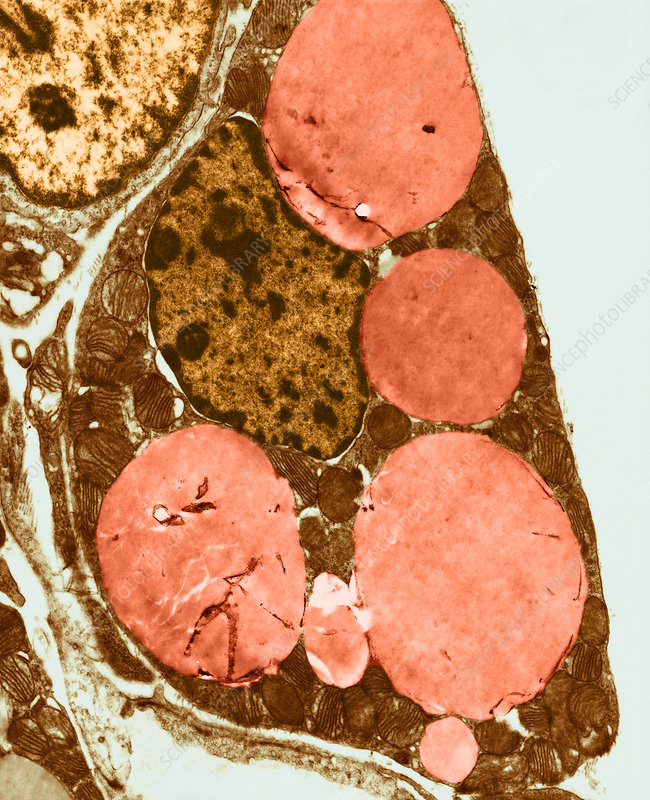 TEM of Brown Adipose Tissue