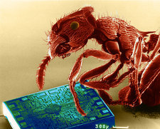 Red Ant with Microchip, SEM