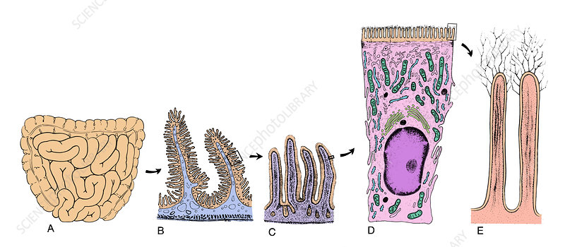 Intestinal Surface Amplification