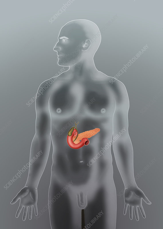 Anatomical Position of Biliary System