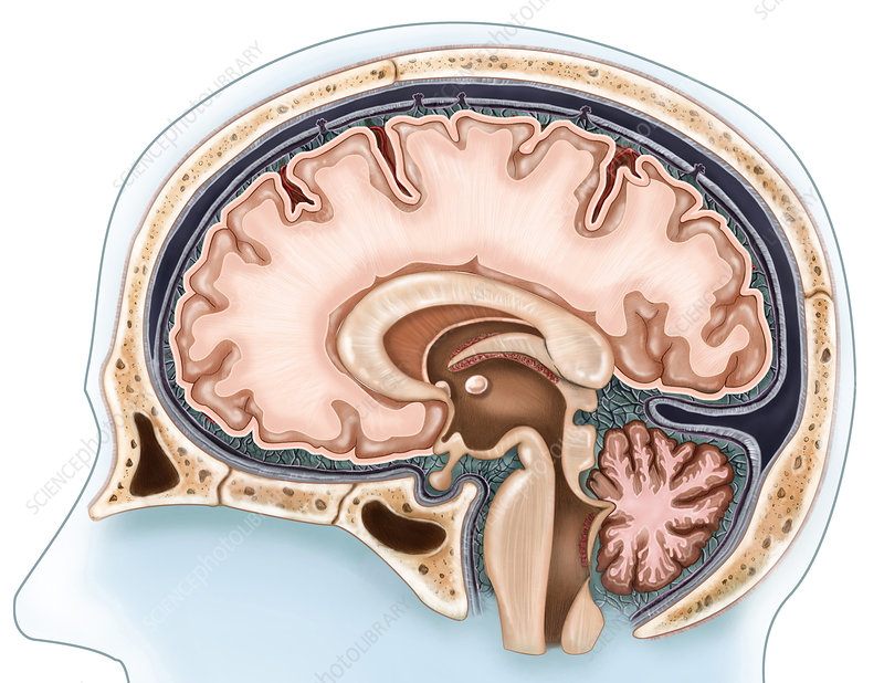 Sagittal View of the Brain