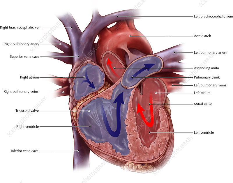 Chambers of the Heart and Bloodflow