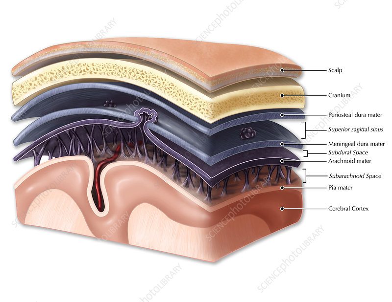 Layers of Meninges