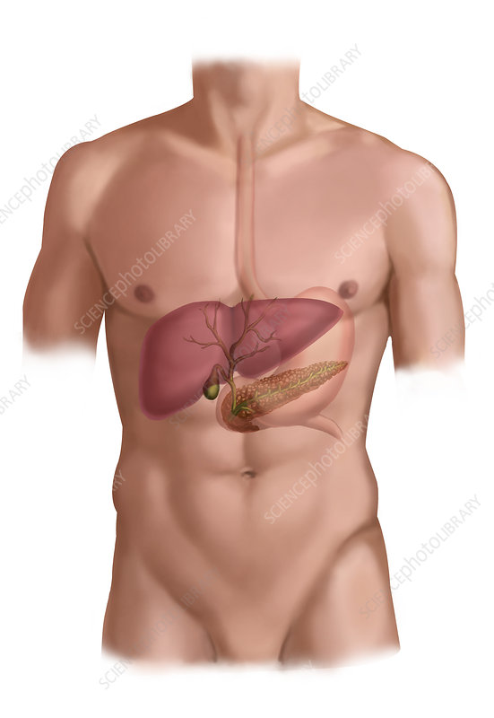 Liver, Stomach and Pancreas