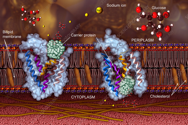 Sodium-glucose transport proteins