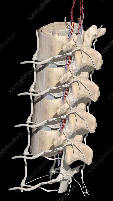 Lumbar Spine with Nerve Roots