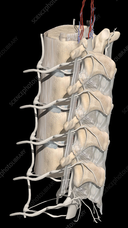 Lumbar Spine and Nerve Roots