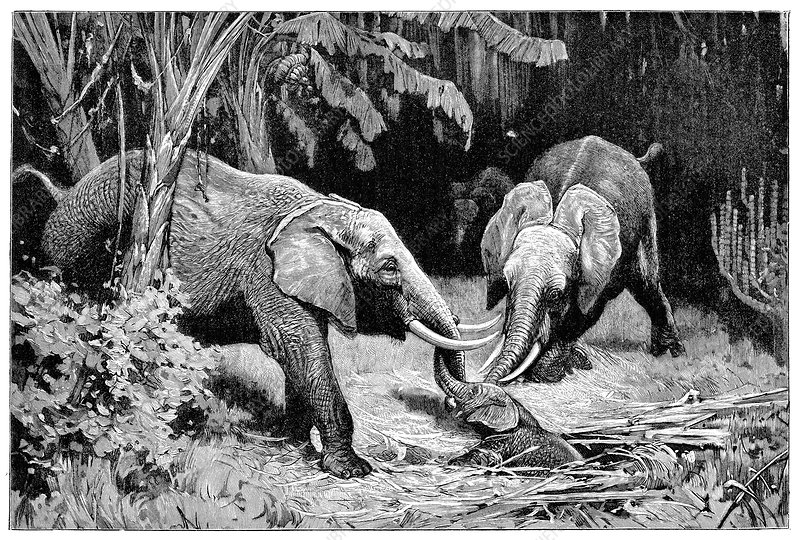 Rescue by African elephants, 19th century