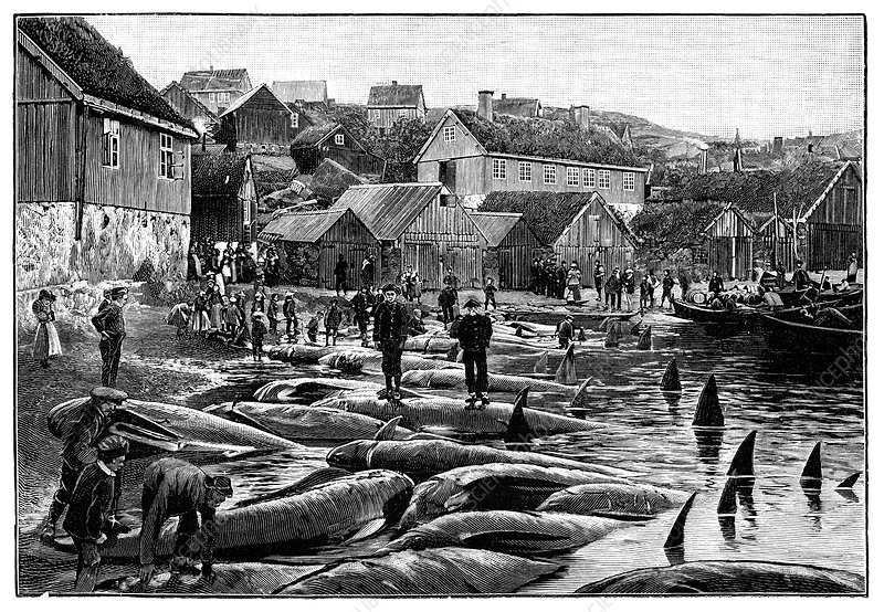 Pilot whale hunt, Faroe Islands, 1898
