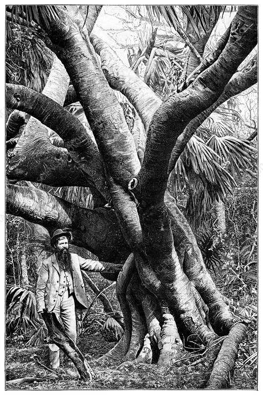 Balata rubber tree, 19th century