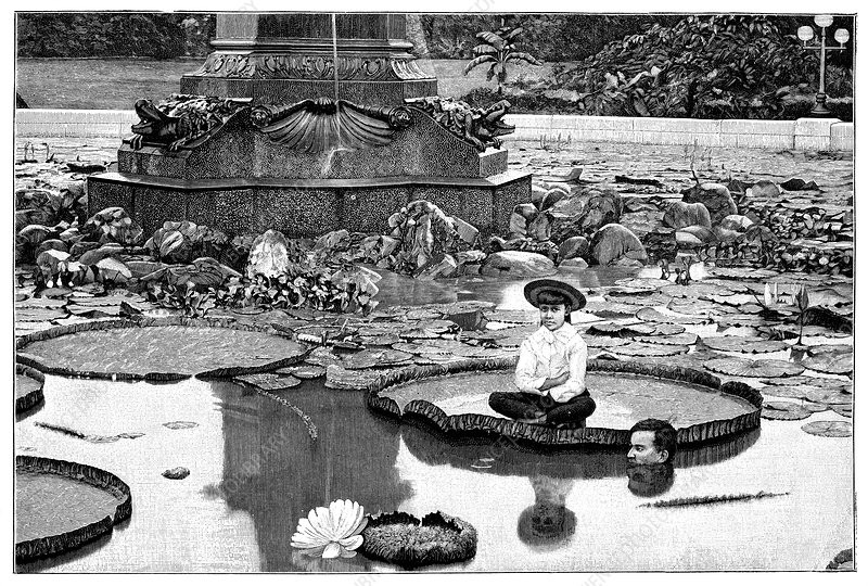 Giant water lilies, 19th century