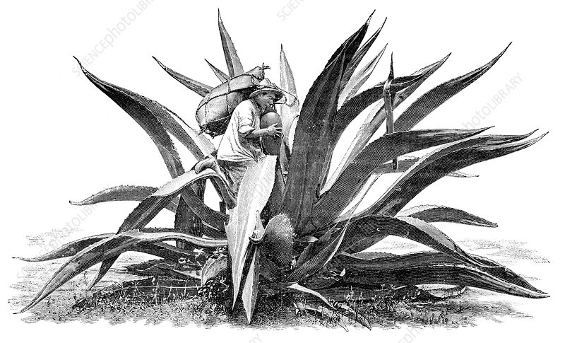 Extracting agave sap, early 20th century