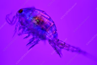Copepod crustacean, light micrograph
