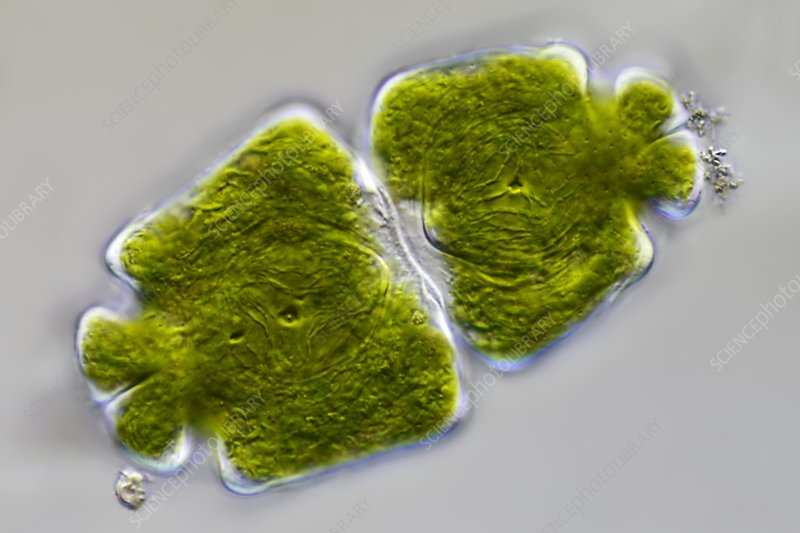 Green algae, light micrograph