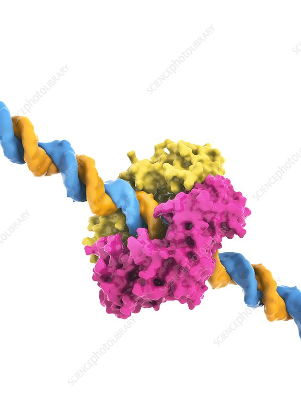 DNA clamp and DNA, molecular model