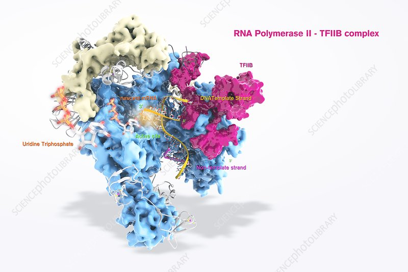 RNA polymerase II and TFIIB