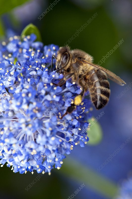 Honeybee feeding on a flower