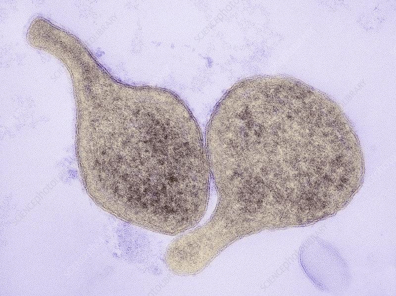 Mycoplasma genitalium bacteria, TEM