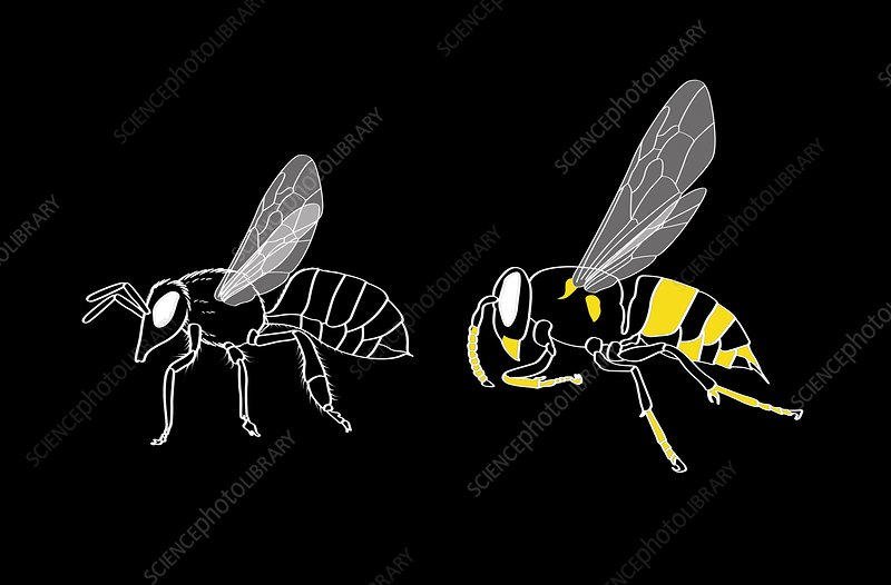 Bee and wasp anatomy, artwork