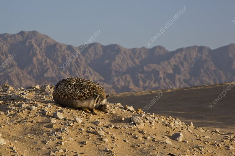 European hedgehog, (Erinaceus concolor)